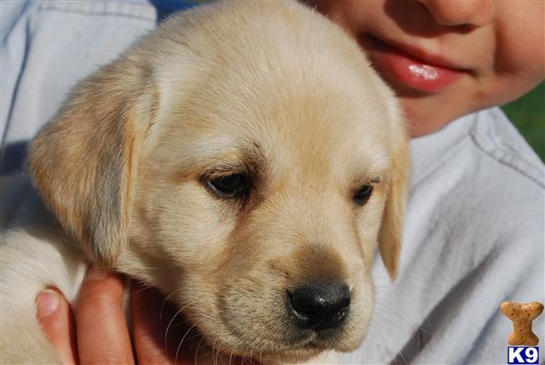 English Labrador Retriever For Sale In Ma