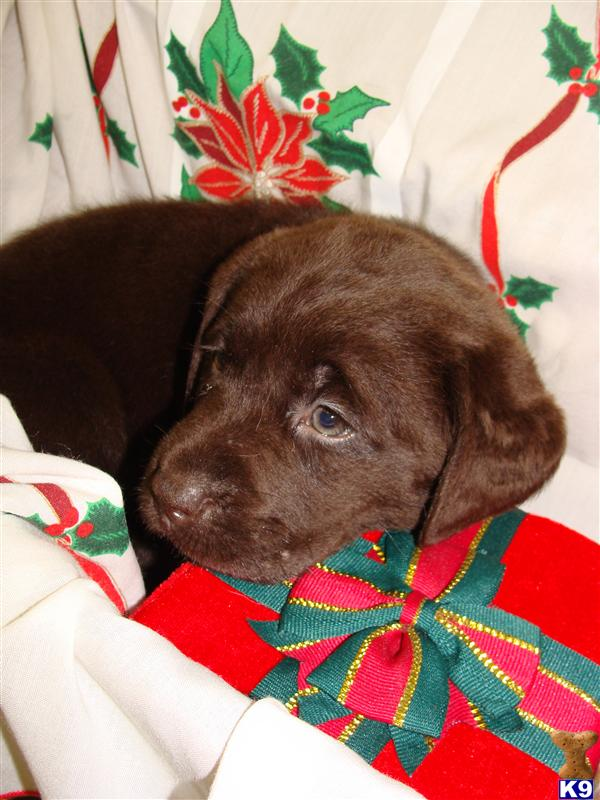 Yellow Labrador Retriever Puppies For Sale In Maryland