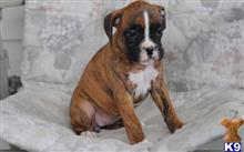 boxer puppy posted by bennymike694