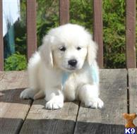 golden retriever puppy posted by bennymike694