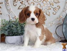 cavalier king charles spaniel puppy posted by bernicemuna