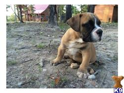 bulldog puppy posted by best Price pups