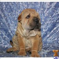 chinese shar pei puppy posted by best Price pups