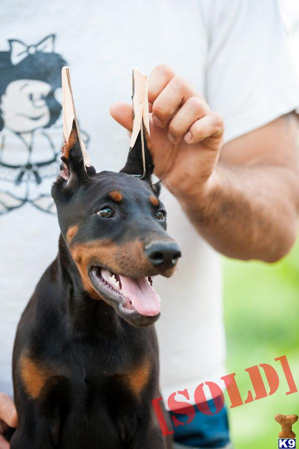 Pinscher Puppy Names Doberman Pinscher Puppy Names
