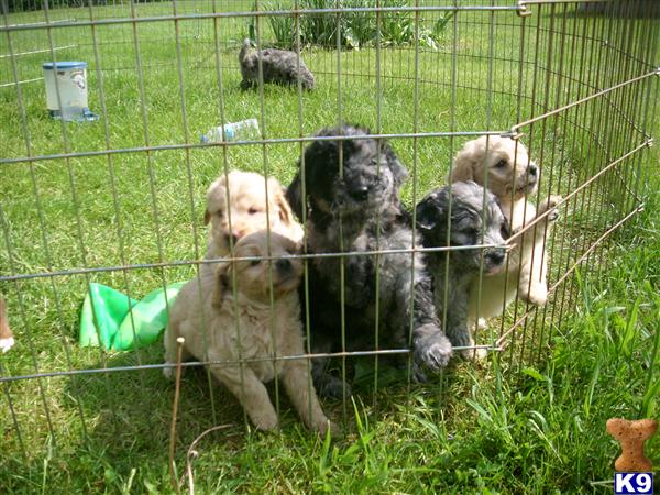goldendoodle puppies for sale in michigan. CKC MINI F1B Golden doodle puppies