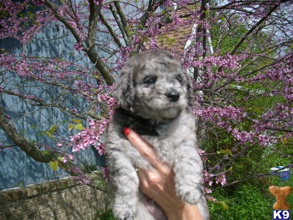 miniature goldendoodle puppies for sale. CKC MINI F1B Golden doodle