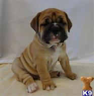old english bulldog puppy posted by bighornsteve