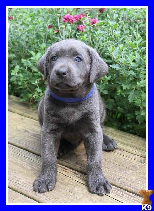 AKC Charcoal Lab puppies for sale