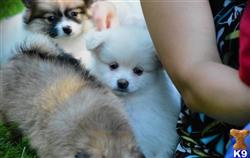 pomeranian puppy posted by blandine