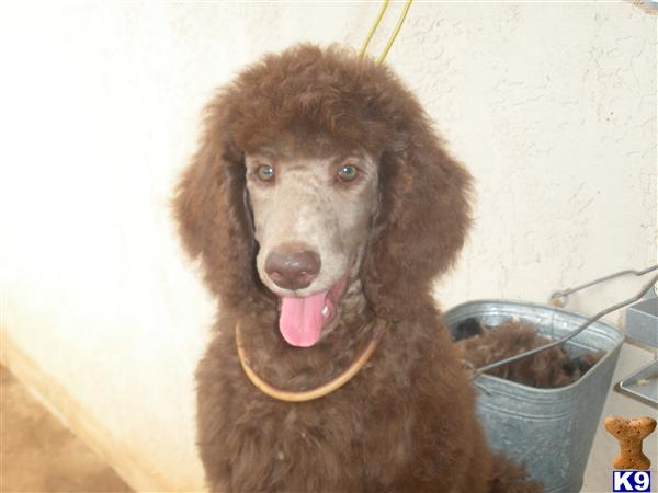 bloomingpoodles Picture 1