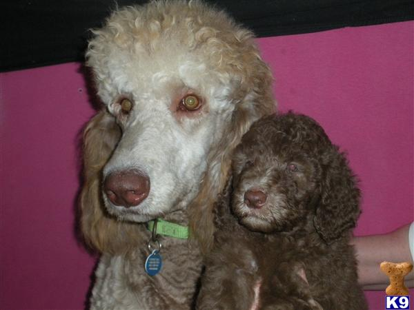bloomingpoodles Picture 3