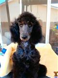 poodle puppy posted by bloomingpoodles