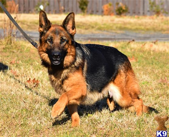blueridgelanegsd Picture 2