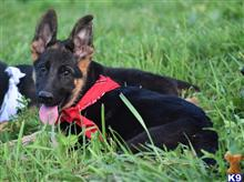 german shepherd puppy posted by blueridgelanegsd