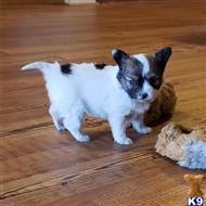 papillon puppy posted by boldfield