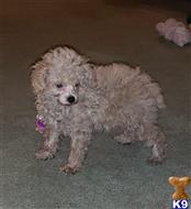 poodle puppy posted by boldfield