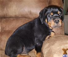 rottweiler puppy posted by boldfield