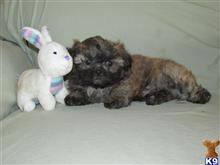shih tzu puppy posted by boldfield