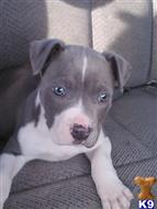 american pit bull puppy posted by bondbrenda