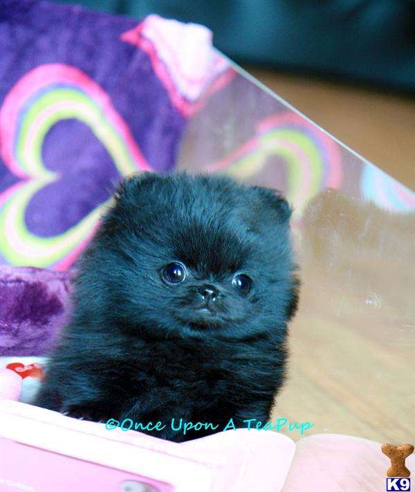 teacup pomeranian puppies for free. teacup pomeranian puppies for free. Listings in get back Teacup; Listings in get back Teacup. SimonTheSoundMa. Sep 25, 04:03 PM
