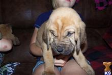 bloodhound puppy posted by boonedog1