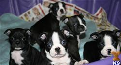 boston terrier puppy posted by bostonbabybuddies