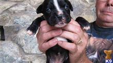 boxer puppy posted by boxersrule2008