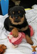 rottweiler puppy posted by bpaintac