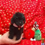 poodle puppy posted by bradherdejurgen