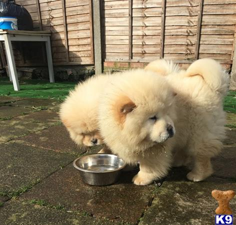 77+ Baby Chow Chow