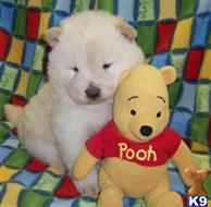 chow chow puppy posted by bradhufeld2017