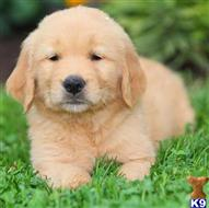 golden retriever puppy posted by bradhufeld2017