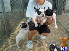 french bulldog puppy posted by breeder45