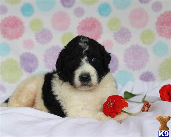 Bernese Mountain Dog Puppy For Sale Lovable Bernedoodle
