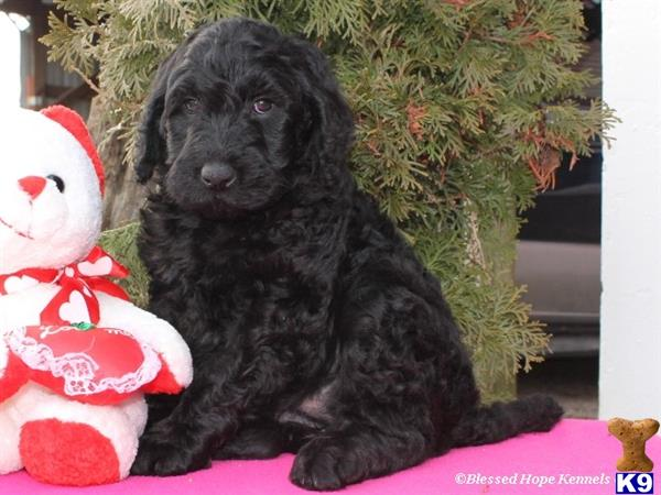 Goldendoodles puppies for sale in kentucky