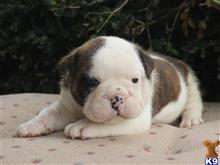english bulldog puppy posted by breeders