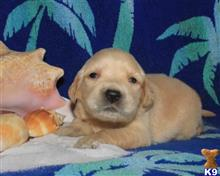 golden retriever puppy posted by breeders
