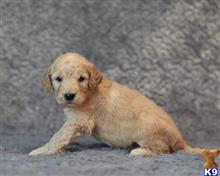 goldendoodles puppy posted by breeders