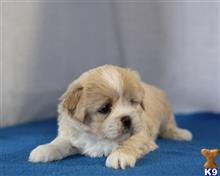 lhasa apso puppy posted by breeders