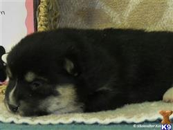 shiba inu puppy posted by breeders