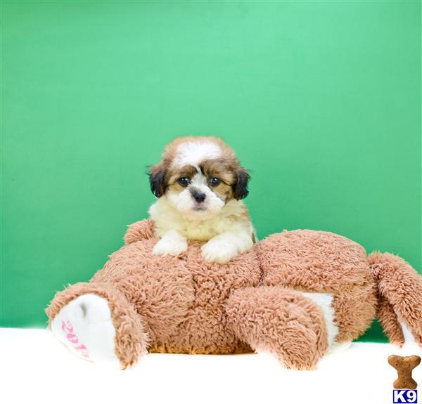 TeddyBear Puppies for sale Michael M 614-859-2025