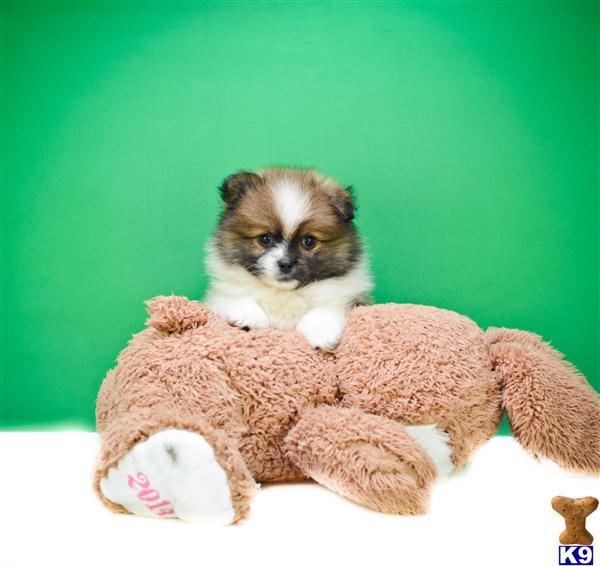 Pomeranian Puppies for sale  Daniel M  614-859-2025