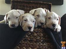 dogo argentino puppy posted by briley454