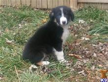 australian shepherd puppy posted by brittib44