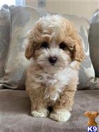 maltipoo puppy posted by brtnstokes