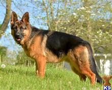 German Shepherd Stud Dogs in Illinois