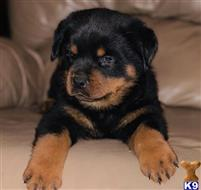 rottweiler puppy posted by bryantokafor