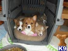 pembroke welsh corgi puppy posted by btimncsedreomksd