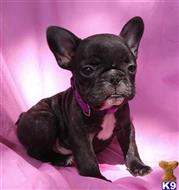 English Bulldog Puppies for sale in California