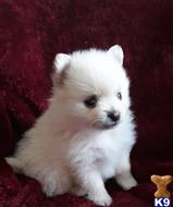 pomeranian puppy posted by btulabut811